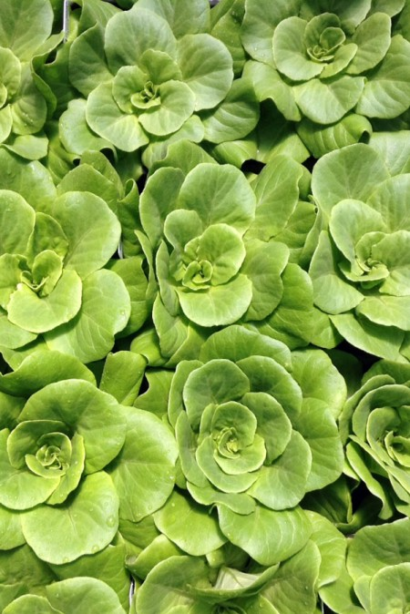 Lettuce 'Salanova Green Multi-Leaf Butter'