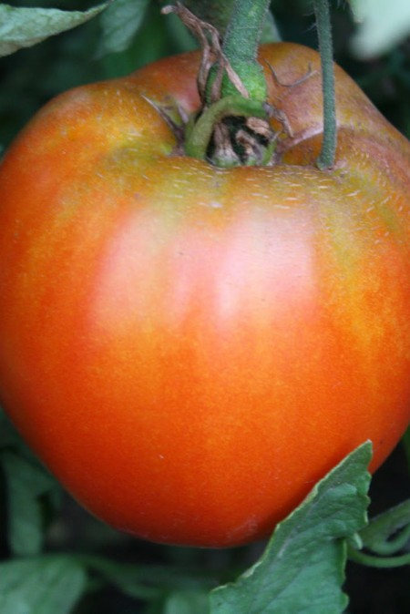 Heirloom Tomato 'Italian Heirloom'