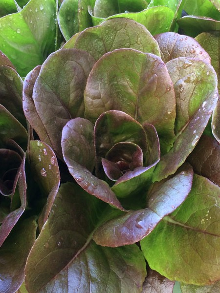 Lettuce 'Salanova Red Multi-Leaf Butter'