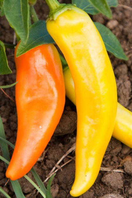 Heirloom Pepper (Hot) 'Hungarian Wax'