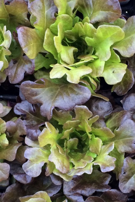 Lettuce 'Salanova Red Multi-Leaf Oakleaf'