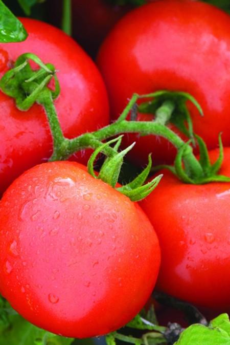 Tomato 'Defiant'