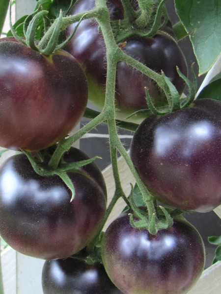 Tomato Indigo Apple&#039;