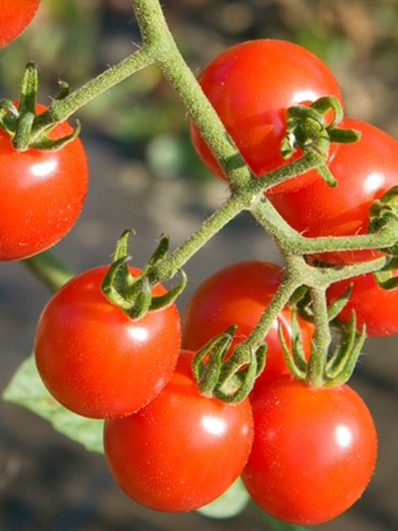 Tomato Jasper Grape Tomato