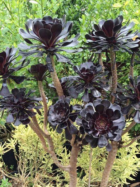 Aeonium 'Zwartkopf' Black Tree Aeonium