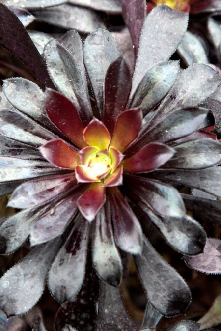 Aeonium Zwartkopf