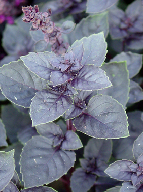 Basil Fairytale 'Dark Lady' (Ocimum sp.)