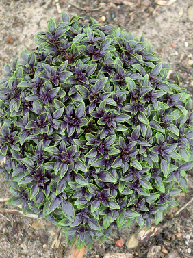 Basil Fairytale 'Red Ball' (Ocimum sp.)
