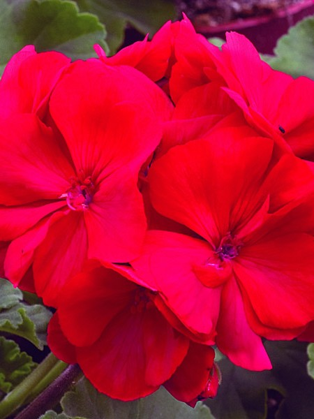 Geranium Candy Cherry&#039; zonal