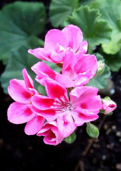 Geranium 'Candy Rose Splash' zonal
