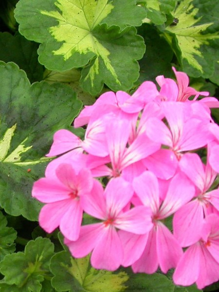 Geranium 'Happy Thought Pink' zonal