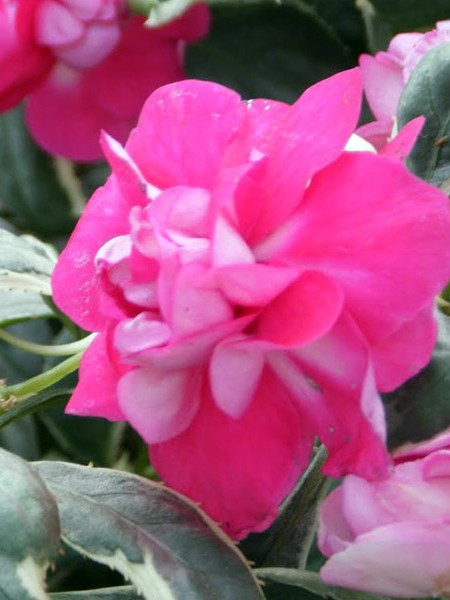 Impatiens 'Fiesta Ole Cherry' double