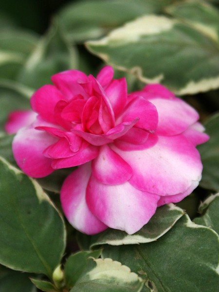 Impatiens 'Fiesta Ole Peppermint' double