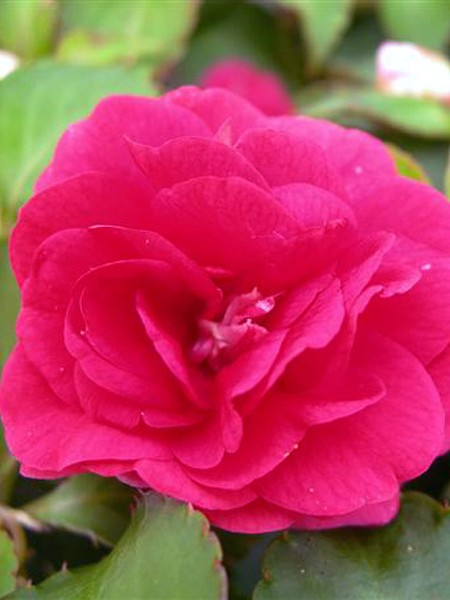 Impatiens 'Fiesta Ole Rose' double
