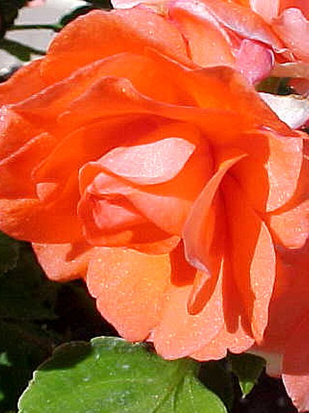 Impatiens 'Fiesta Ole Salmon' double