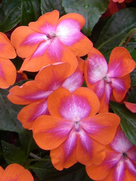 Impatiens walleriana 'Patchwork Cosmic Orange'