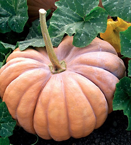 Pumpkin 'Fairytale'