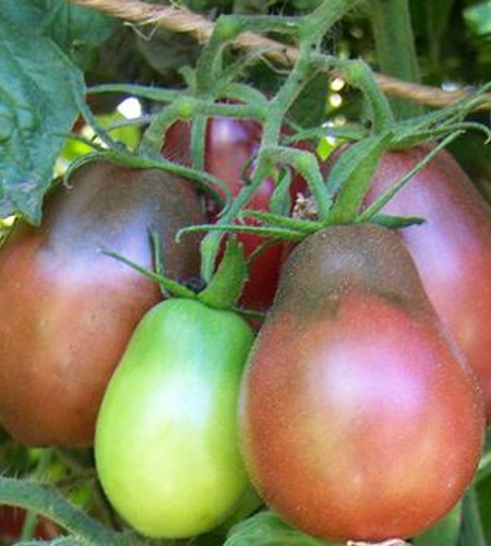 Tomato 'Purple Pear'