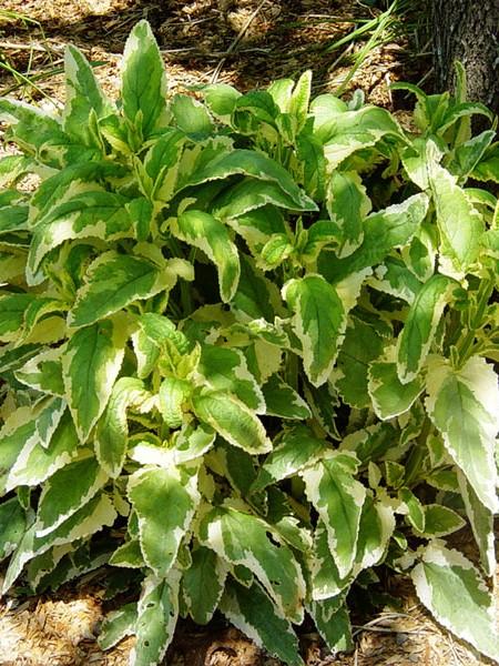 SCROPHULARIA auriculata 'Variegata' (water figwort)