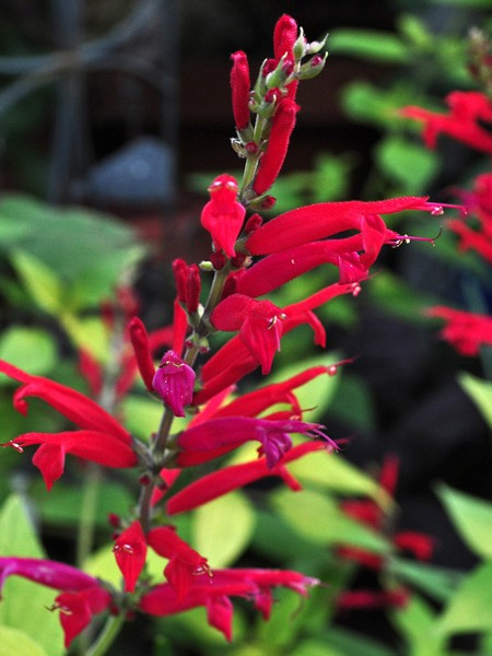 Salvia elegans 'Golden Delicious (pineapple sage)