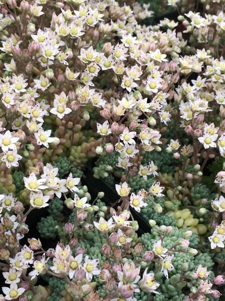 Sedum dasyphyllum 'Major' (stonecrop)