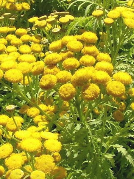 Tanacetum vulgare 'Isla Gold' (tansy)