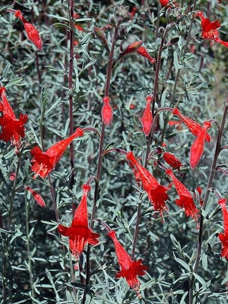 ZAUSCHNERIA californica 'Catalina' (hummingbird fuchsia)
