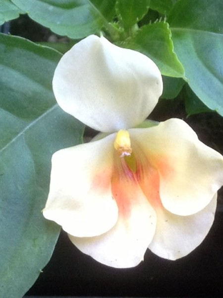 Impatiens auricoma 'Fusion Glow Yellow'