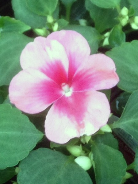 Impatiens walleriana 'Patchwork Peach Prism'