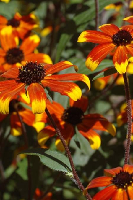 Rudbeckia hirta 'Prairie Glow' (black-eyed susan)