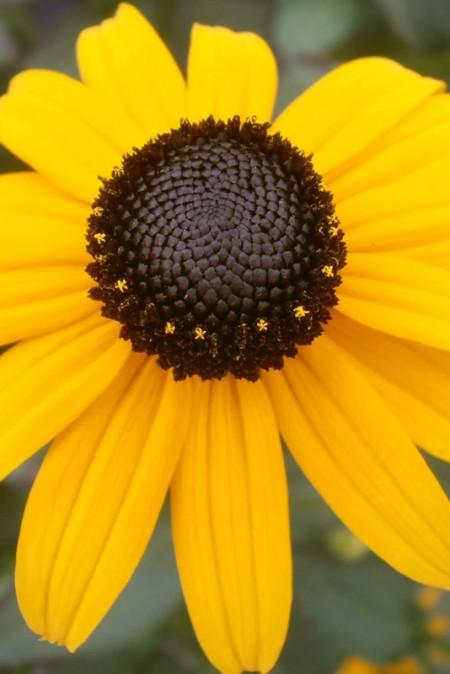 Rudbeckia hirta 'Summer Light' (black-eyed susan)