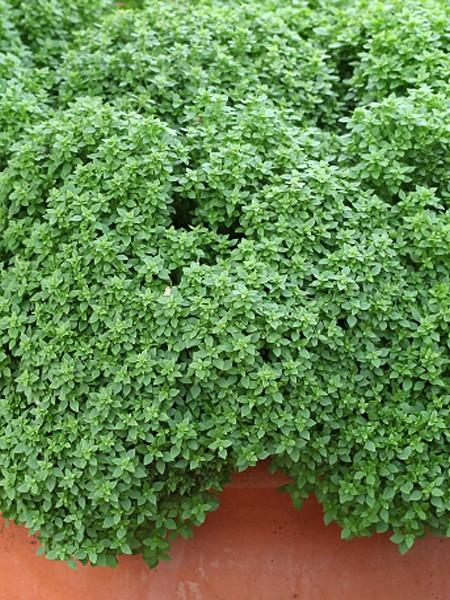 Basil 'Aristotle' (Ocimum basilicum)