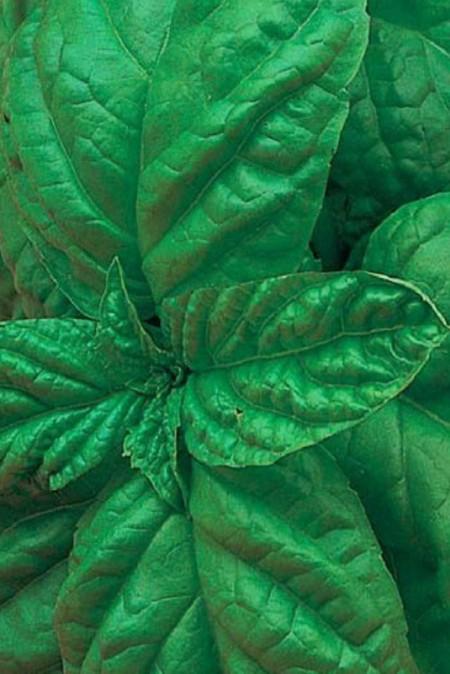 Basil 'Bolloso Napoletano' (Ocimum basilicum)