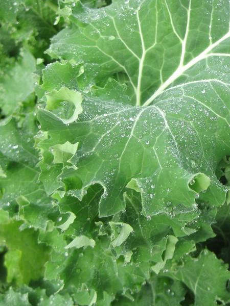 Kale 'Siberian'