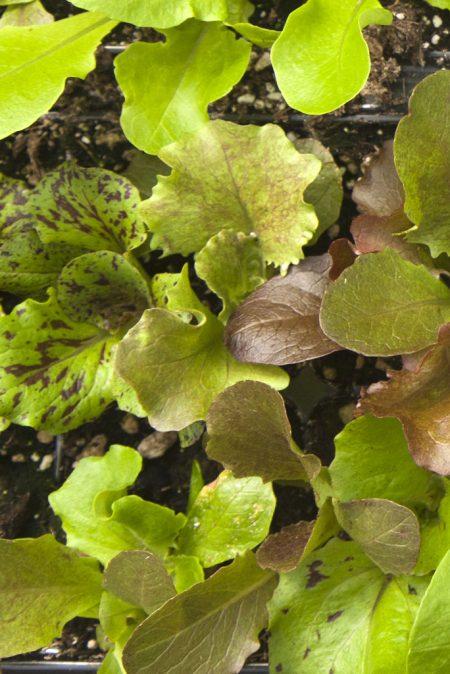 Lettuce 'Morton's Secret Lettuce Mix'