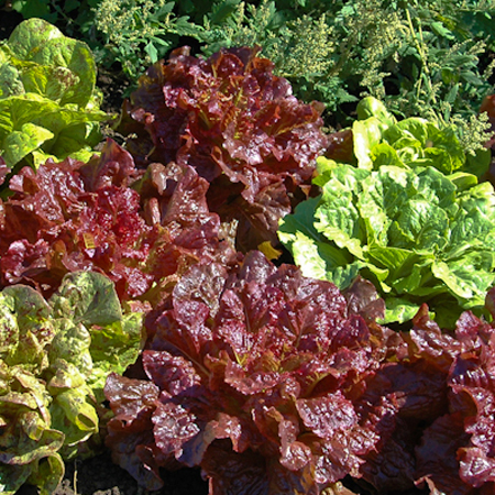 Lettuce 'Philosoper's Romaine Mix'