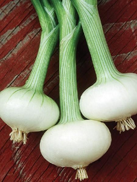 Onion 'Bianca di Maggio'