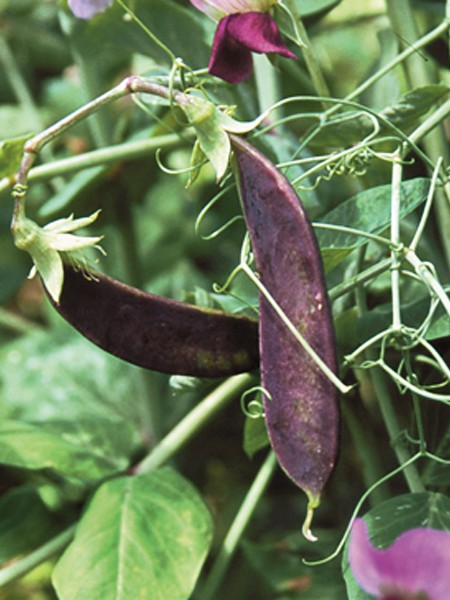 Pea 'Blue Podded'