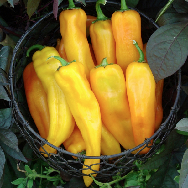 Heirloom Pepper (Sweet) 'Mamma Mia Giallo' AAS 2013
