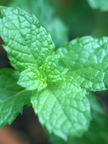 Mint 'Kentucky Colonel' (mentha spicata)
