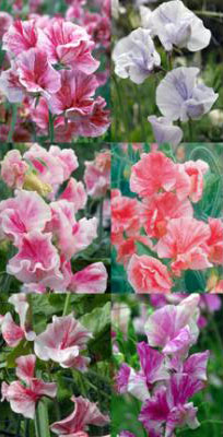 Lathyrus odoratus 'Streamers Mix' Spencer Sweet Pea