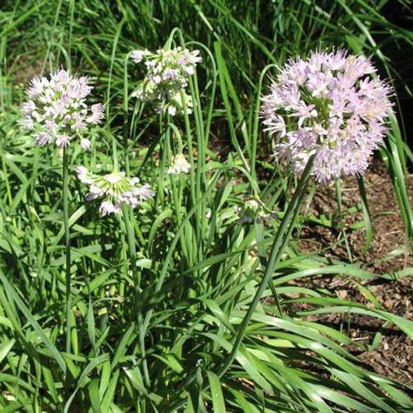 Allium spiralis (Allium senescens ssp. Glaucum)