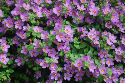 Bacopa 'Bahia Purple Sand'