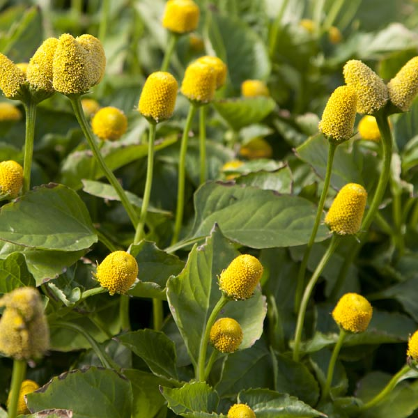 Buzz Buttons (spilanthes oleracea)