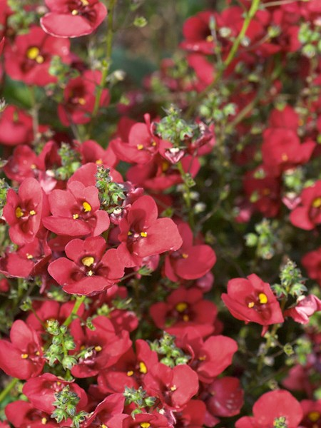 Diascia 'Piccadilly Dark Red'