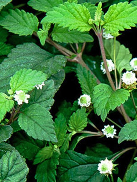 Dolce Buttons (lippia phyla dulcis)