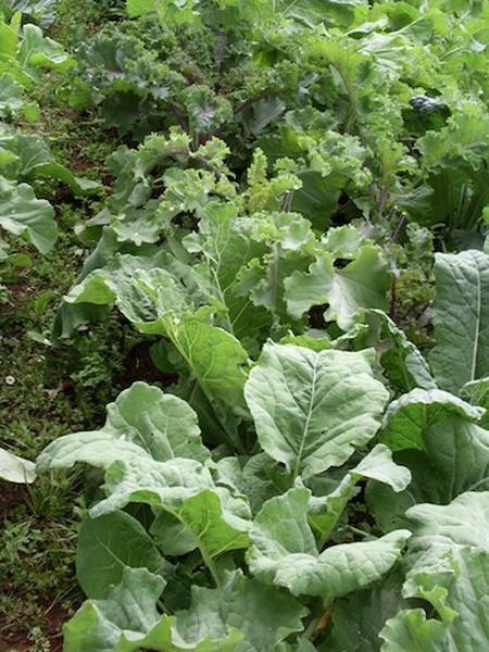 Kale 'Kale Coalition'