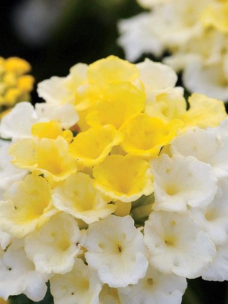 Lantana 'Lucky Lemon Glow'