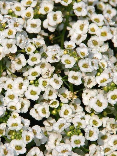 Lobularia 'White Stream'