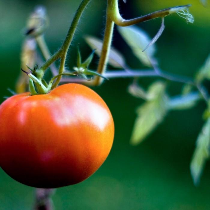 Heirloom Tomato 'Fireworks'
